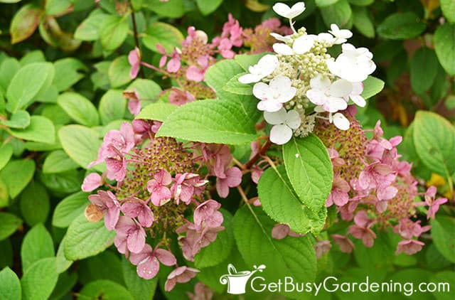 Multi colored flowers on little Quickfire hydrangea
