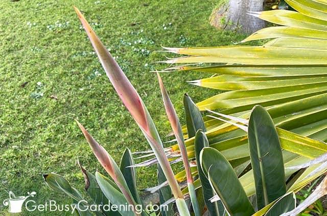 New bird of paradise flower buds