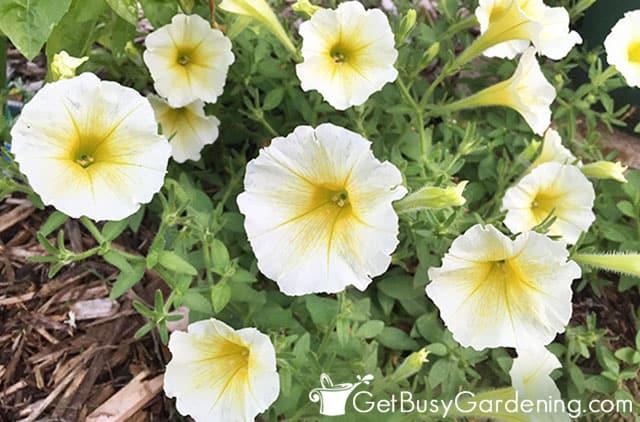 Pale yellow wave petunias
