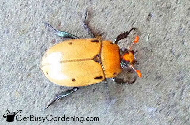 Pelidnota punctata spotted June beetle