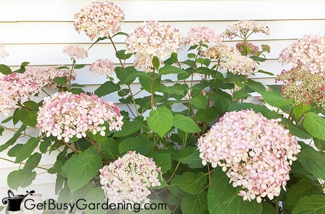 Pink flowers on Invincibelle spirit II hydrangea