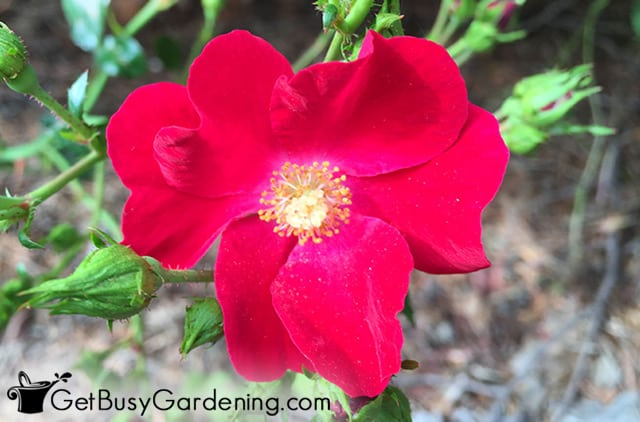 Pretty dark red rose flower