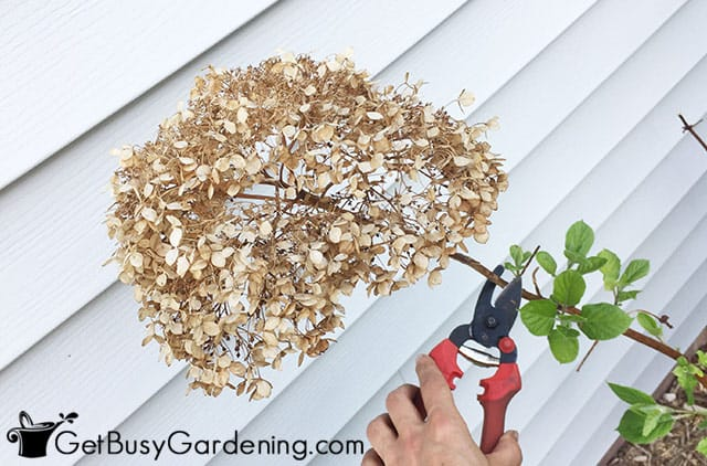 Pruning dead flowers from my hydrangea
