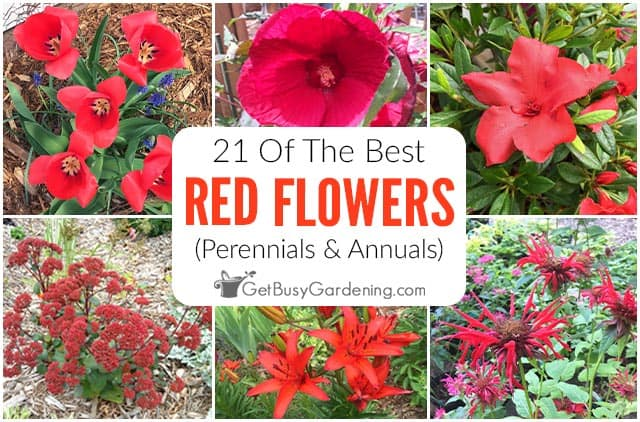 21 Of The Best Red Flowers: Perennials & Annuals