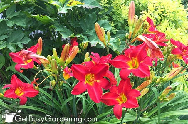 Red lilies with green leaves
