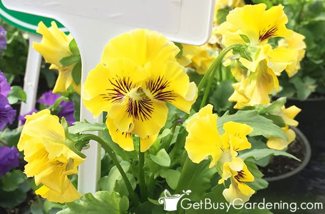 Small frilly yellow pansy