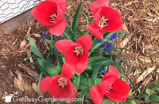 Tulips with deep red flowers