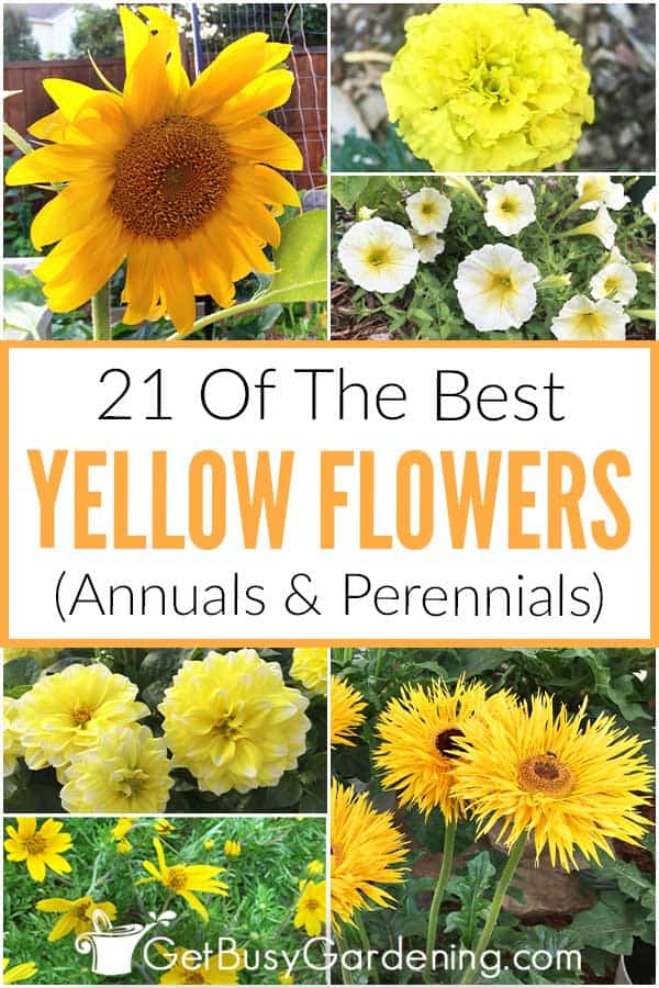 21 Of The Best Yellow Flowers: Annuals & Perennials