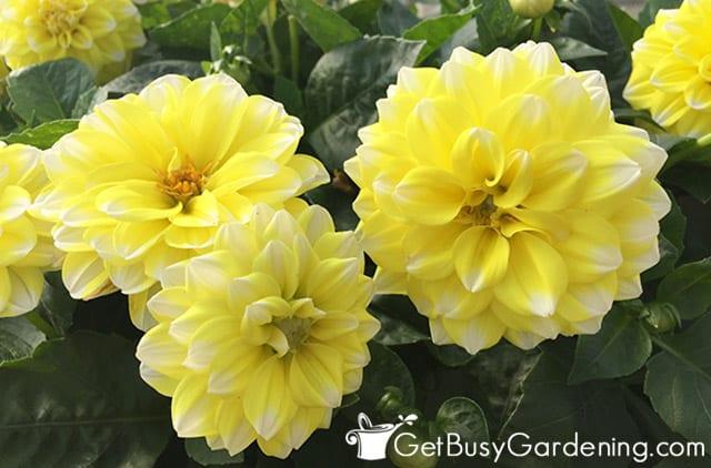 Yellow tipped white 'Starsister' dahlia