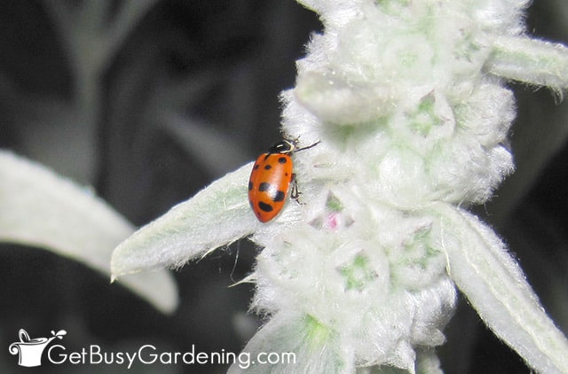A newly released ladybug on a flower