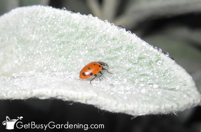 Adult ladybug on leaf in my garden