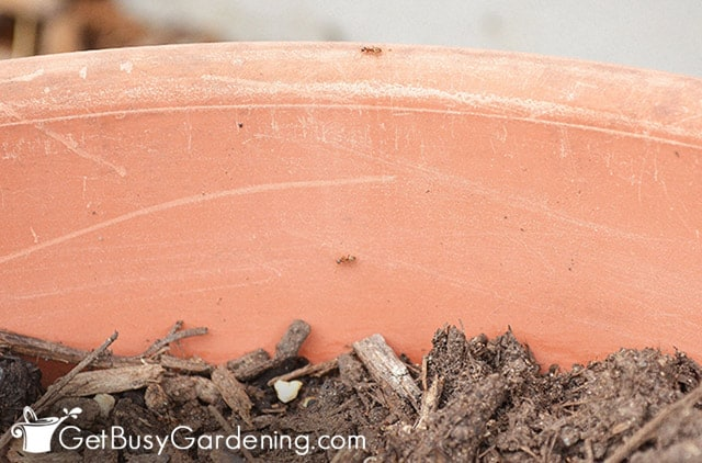 Couple of ants in my potted plants
