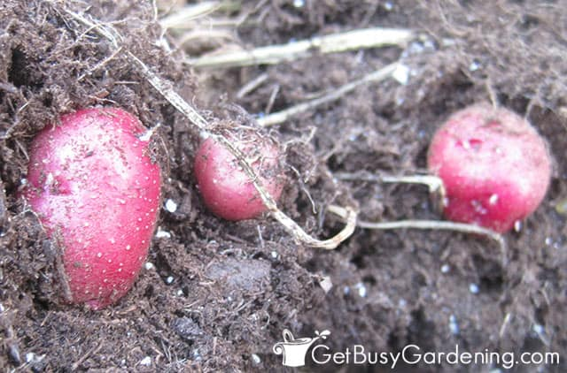Digging up my red potatoes