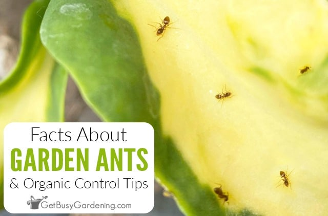 Facts About Ants In A Garden & Organic Control Tips