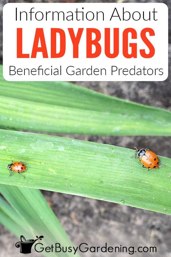 Information About Ladybugs Beneficial Garden Predators