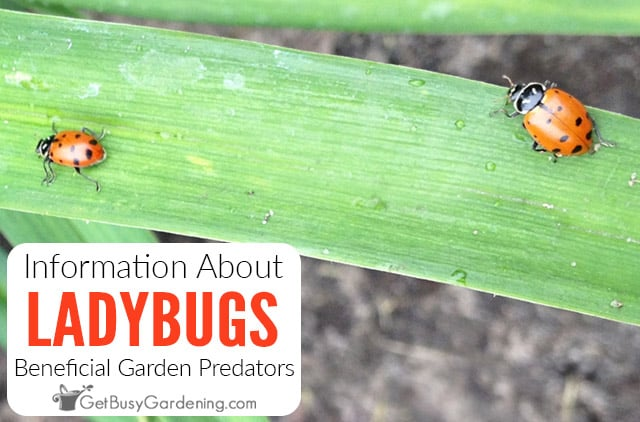 All About Ladybugs & Why They're Good For Your Garden
