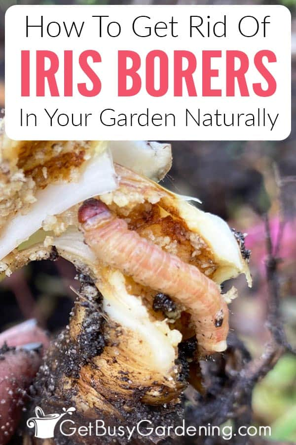 How To Get Rid Of Iris Borers In Your Garden Naturally