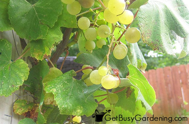 Grapes on my backyard vine