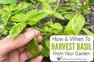 How And When To Harvest Basil Leaves