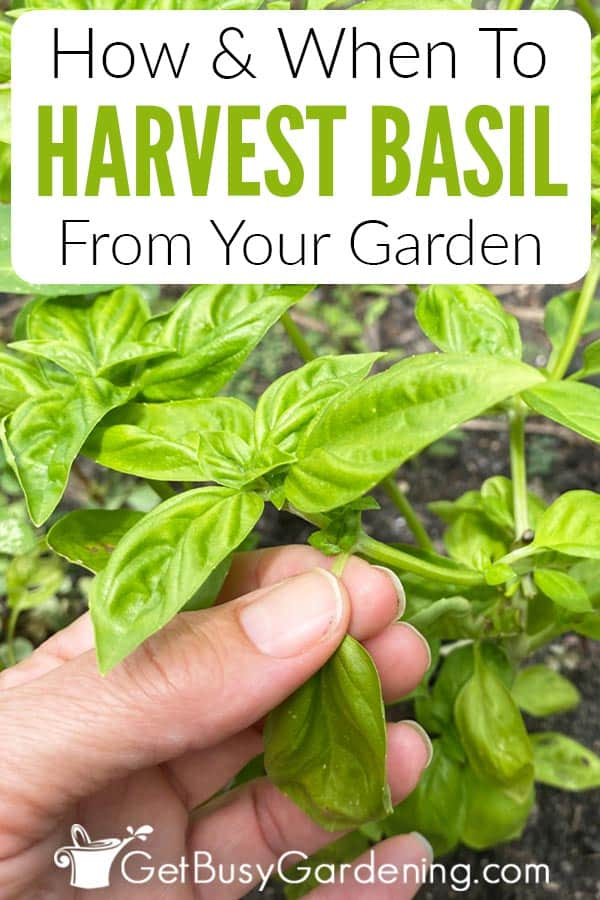 How & When To Harvest Basil From Your Garden