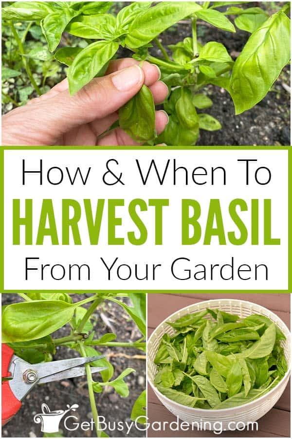 Cómo y cuándo cosechar albahaca de su jardín