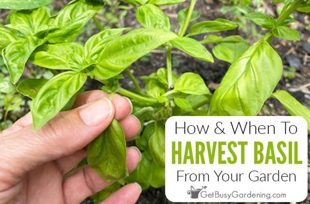 Cómo y cuándo cosechar las hojas de albahaca