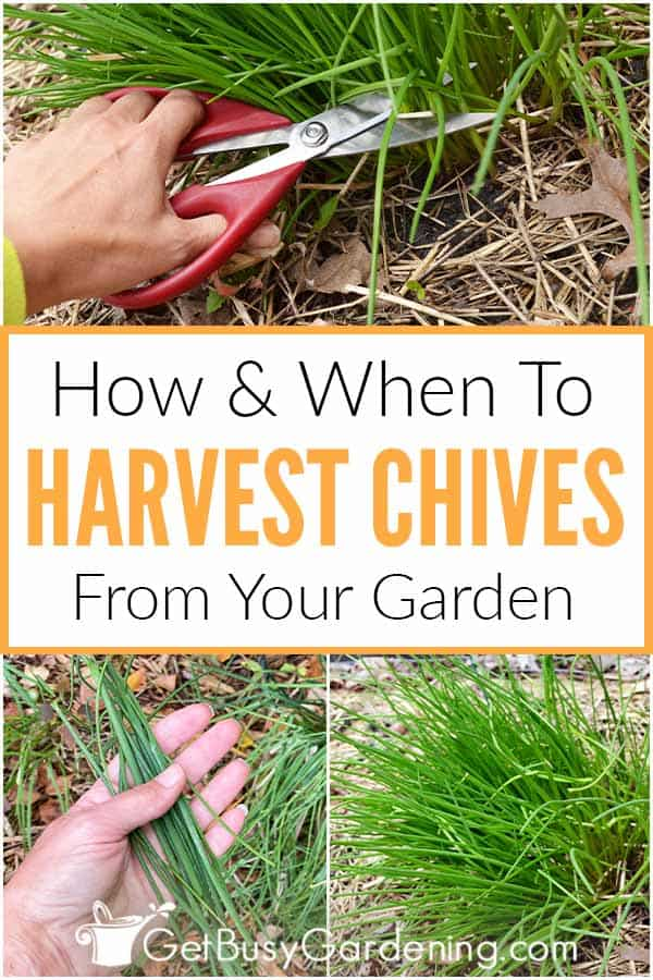 How & When To Harvest Chives From Your Garden