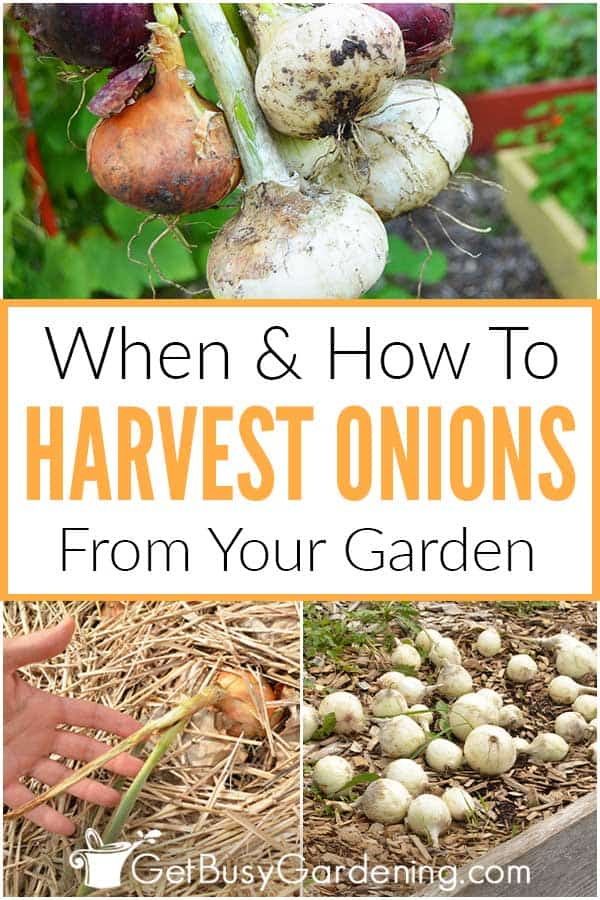 When & How To Harvest Onions From Your Garden