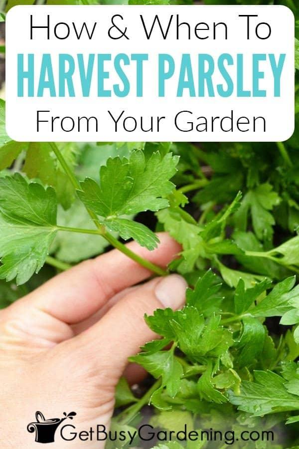 Cómo cosechar el perejil de tu jardín