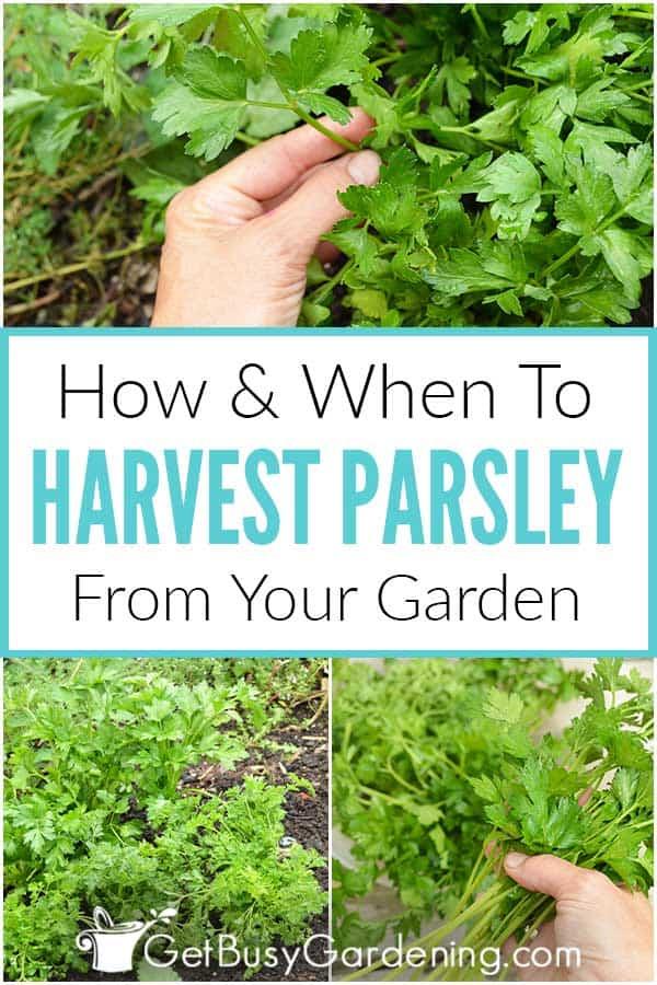 Cómo cuándo cosechar el perejil de tu jardín