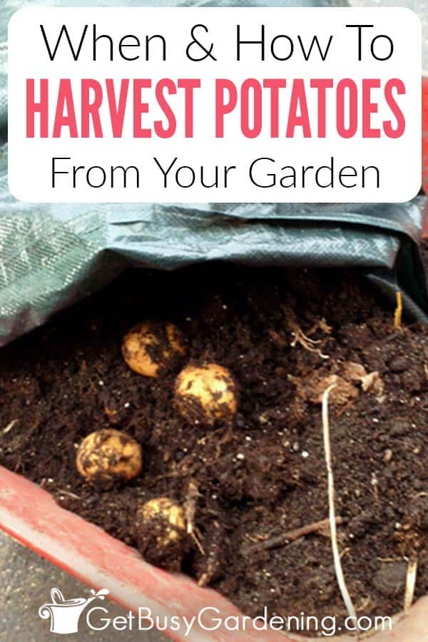 When & How To Harvest Potatoes From Your Garden