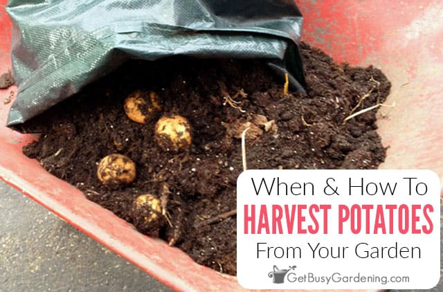When And How To Harvest Potatoes