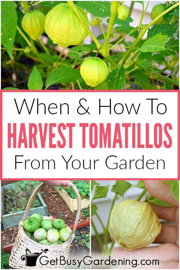 When & How To Harvest Tomatillos From Your Garden