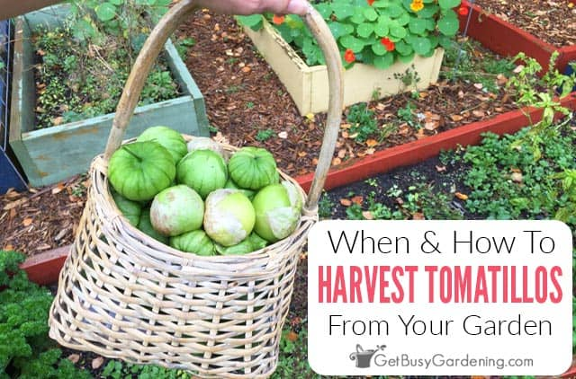 When And How To Harvest Tomatillos