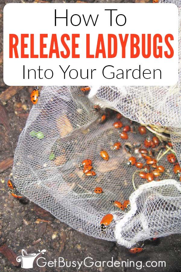 Cómo liberar mariquitas en tu jardín