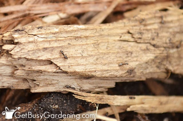 Lots of ants in garden mulch