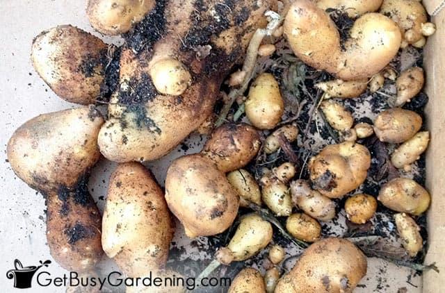 My potato harvest ready for storage