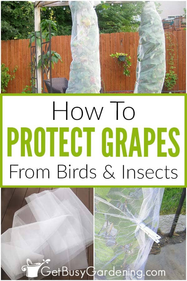 How To Protect Grapes From Birds & Insects