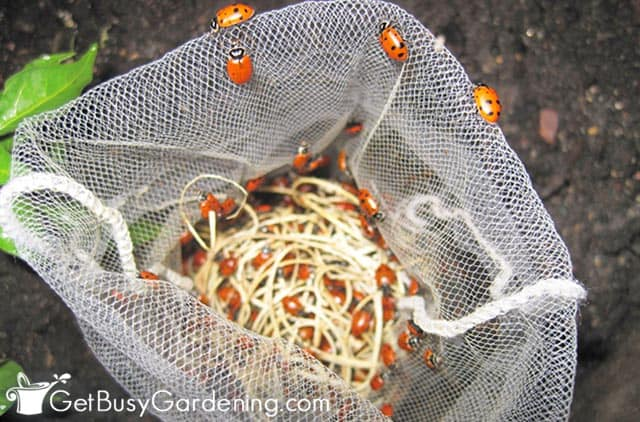 Releasing ladybugs in my garden at night