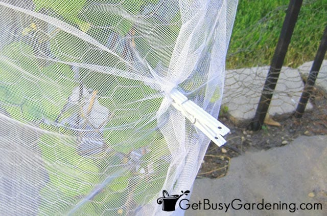 Securing grapevine cover with clothes pins