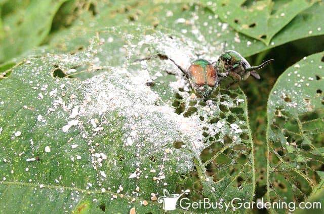 Sprinkling garden pest with bug killer