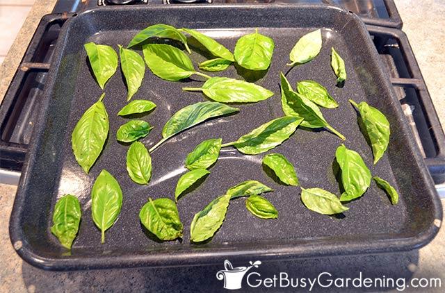 Flash freezing fresh basil leaves
