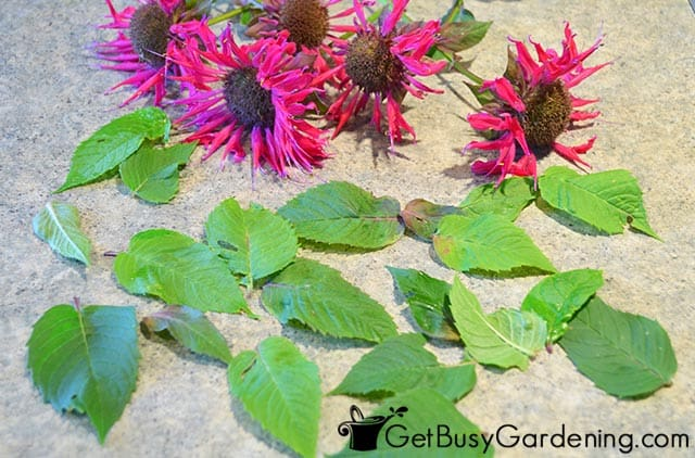 Monarda flowers and leaves ready to make tea