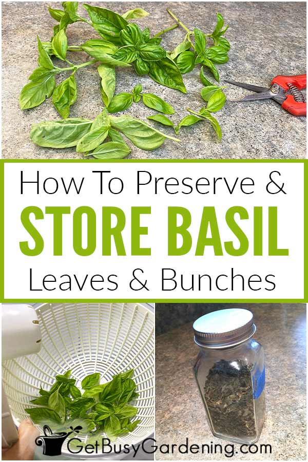 How To Preserve & Store Basil Leaves & Bunches