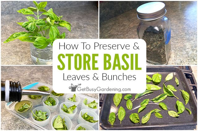 How To Store Fresh Basil (Leaves Or Stems)