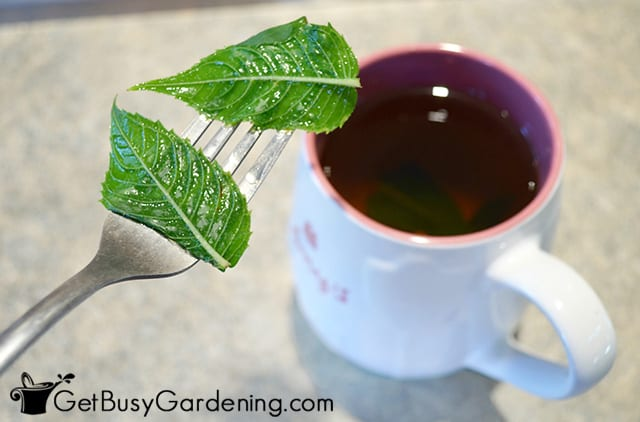 Straining my bee balm leaf tea