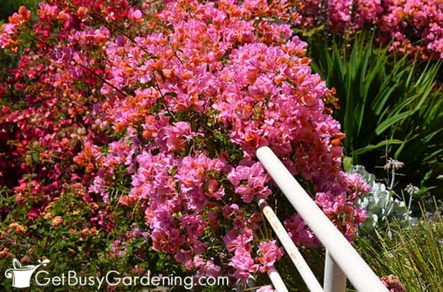 Beautiful bougainvillea bush covered with blooms