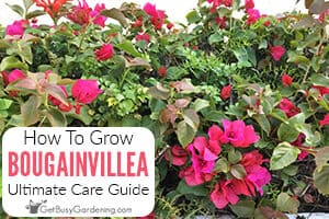 Bougainvillea Care & Growing Guide