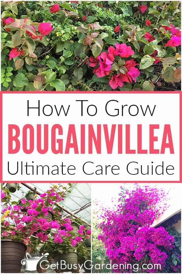 Cómo cultivar buganvillas Ultimate Care Guide