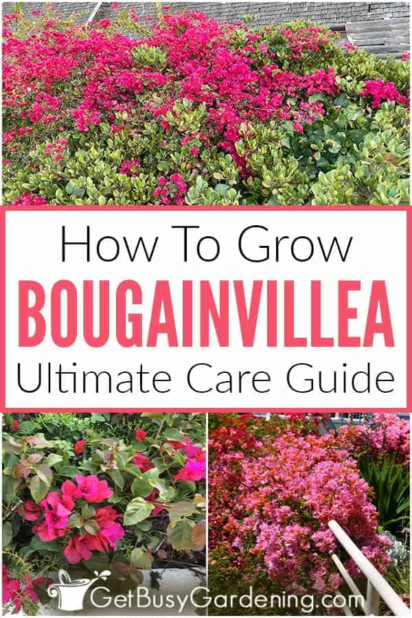 How To Grow Bougainvillea Ultimate Care Guide